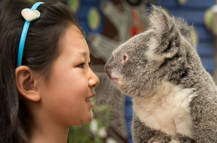 Koalas in Queensland at Dreamworld.