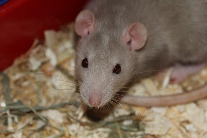 rat-369105_960_720